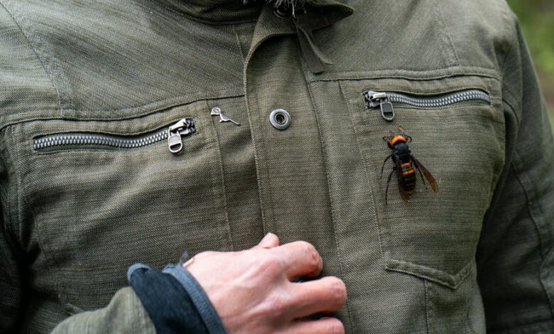 Image of Asian murder hornet on man's jacket