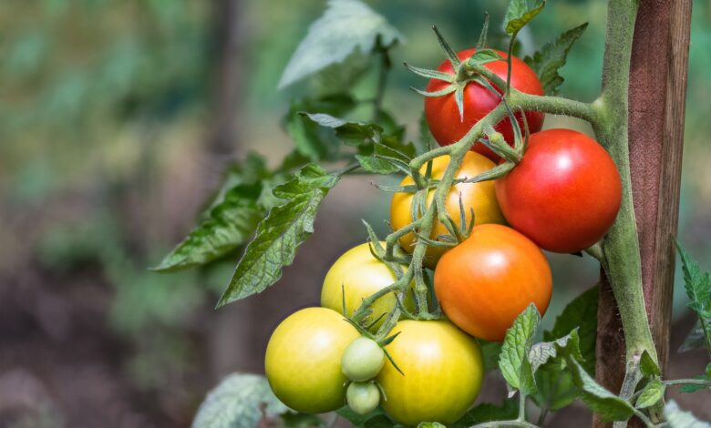 Picture of ripe and unripe tomatos on the same vine